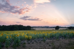 Sunset in a Sunflower Field